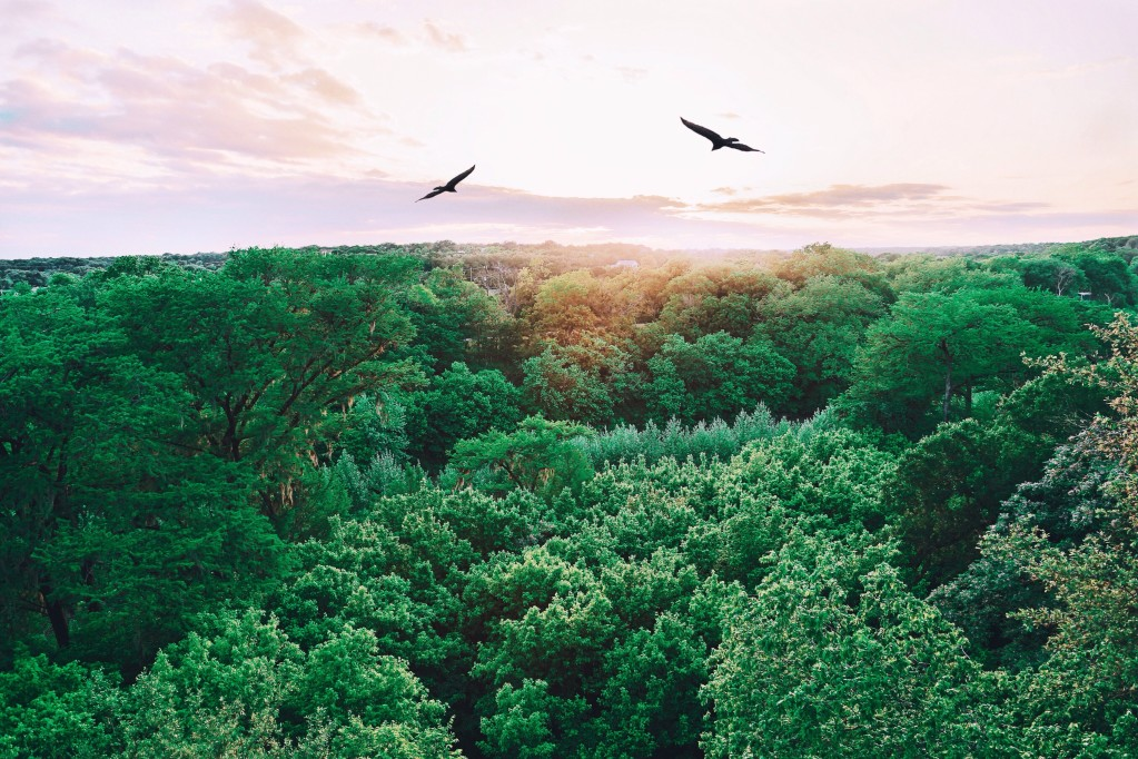 Top of a forest with birds soaring the sea of green