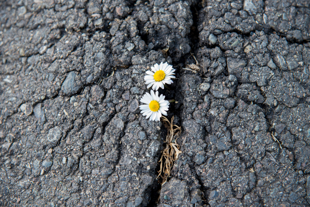 life-finds-a-way-tiny-flowers-breaking-through-asphalt-to-grow_t20_v3w3bz